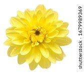 Dahlia Flower Head Yellow...