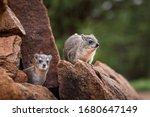 Rock Hyraxes In The Wild In...