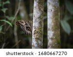 Caligo Atreus Or Owl Butterfly...