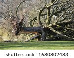 Fallen Uprooted Tree In A Park  ...