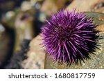 Purple Sea Urchin ...