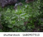 Wild Oregano Grows In The...