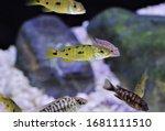 Small photo of The cute golden Ocellatus shell-dweller in freshwater aquarium. Lamprologus ocellatus is Tanganyika Shell Dweller cichlids.