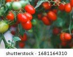 bunch of fresh  bio tomatoes in ... | Shutterstock . vector #1681164310