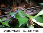 Micrathyria Dragonfly In Close...