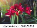 Red Amaryllis Flower Blooms In...