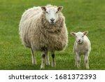 Ewe  A Female Sheep With Her...