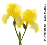 Yellow Iris Flower Isolated On...