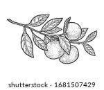 Mandarin Orange Plant Sketch...
