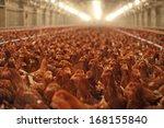 Chicken Farm  Poultry