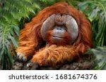 Orangutans   Orang Utan ...