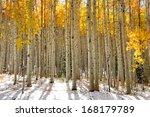 Aspen Trees In The Snow In...