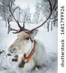 Reindeer In Lapland During...