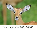 Wild Antelope From Africa