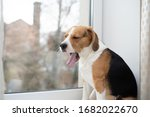 Beagle Dog Resting On The...