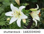 White Easter Lily Flowers In...