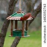Male Cardinal Red Songbird...