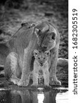 Mono Lioness Nuzzling Cub By...