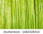 Green Bamboo Forest In Sun...