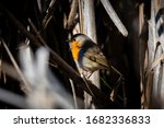 A Red Robin  Erithacus Rubecula ...