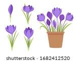 Vector Set Of Violet Crocus...