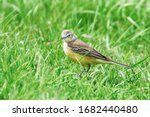 Yellow Bird In The Grass ...