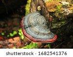Mushroom Fomitopsis Pinicola...