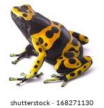 yellow poison dart frog...   Shutterstock . vector #168271130
