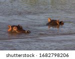 Two Partly Submerged Common...