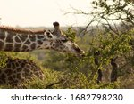 A Southern Giraffe  Giraffa...