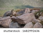 A Marmot Pokes It\'s Head Over...