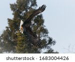 A bald eagle takes flight from its perch, showing off its large wingspan.