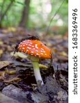 Wild Fly Agaric With Red Cup...