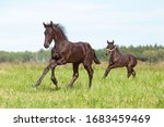 Two Nice Friesian Foals Running ...