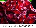 Wilting Red Hibiscus Wet Flower ...
