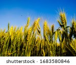 Wheat Ears On A Blue Background....