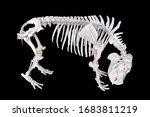 Pygmy Hippopotamus Skeleton On...
