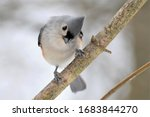 Tufted Titmouse On A Branch In...