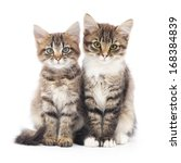 Stock photo two small siberian kittens on a white background 168384839