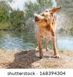 a lab mix shaking off water... | Shutterstock . vector #168394304