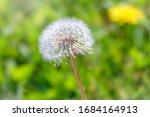 Blowball Of Taraxacum Plant On...