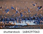 Flock Of Ring Necked Dove ...
