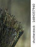 Macro Shot Of Grey Lichen Moss...