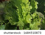 Curly Leafed Lettuce In Sunlight