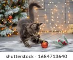 Maine Coon Kitten Plays On A...