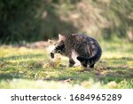 Tabby Cat Digging In Grass...