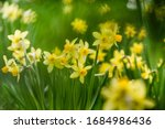 Yellow Narcissus Flowers Bloom...