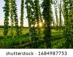 Small photo of Green hops field. Fully grown hop bines. Hops field in Bavaria Germany. Hops are main ingredients in Beer production