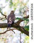 Bird Of Prey Black Kite...
