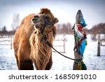 Camel In A Buddist Monestary In ...